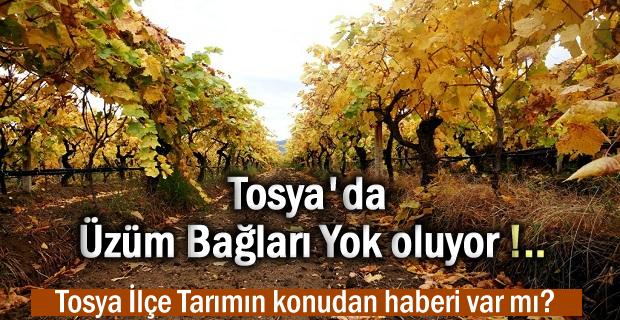 Tosya'da Üzüm Bağları Yok Oluyor