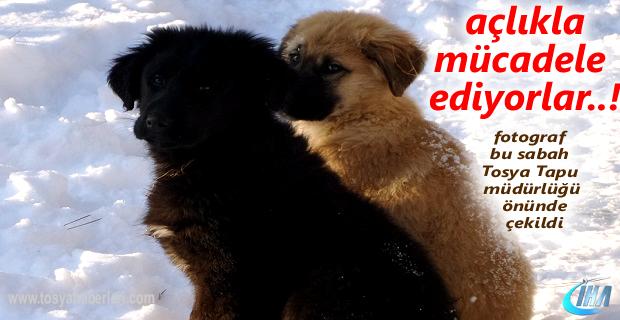 Tosya'da Sokak Hayvanları Hayatta Kalma Mücadelesi Veriyor