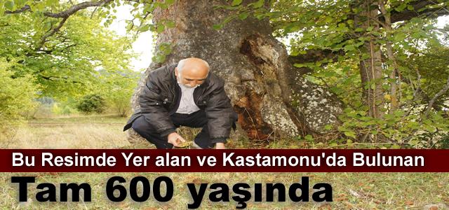 600 YILLIK FINDIK AĞACI HALA MEYVE VERİYOR