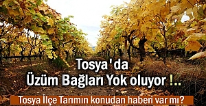 Tosya#039;da Üzüm Bağları Yok...