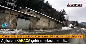 Doğada Aç kalan Karaca Tosya Şehir...