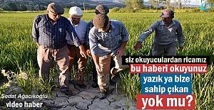 Tosya Pirinci Yok Oluyor! Üretici...