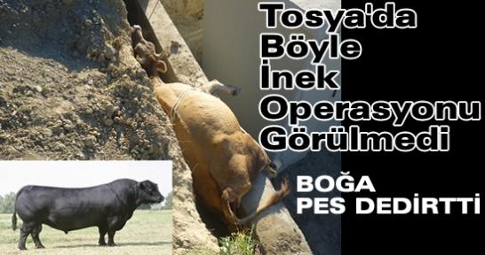 Tosya'da Böyle İNEK Operasyonu Görülmedi