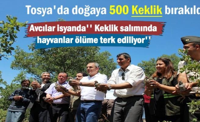 Avcılara vurmazsa Tosya'da doğaya 500 kınalı keklik bırakıldı