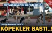 TOSYA'DA KÖPEKLER TERÖR ESTİRİYOR