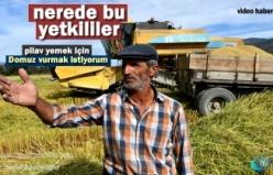 Tosya'da Pirinç Üreticisi İlgisizlikte Şikâyetçi