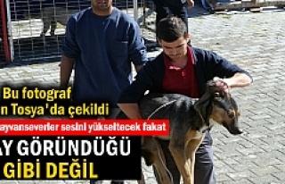 Tosya'da Sokak Köpeklerine Operasyon Yapıldı