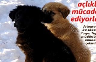 Tosya'da Sokak Hayvanları Hayatta Kalma Mücadelesi...