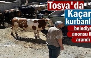 Tosya'da Kurbanlık Dana Kayboldu