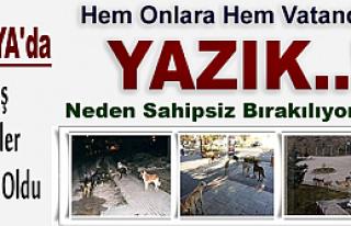 BAŞIBOŞ KÖPEKLER TOSYA'DA KABUS OLDU