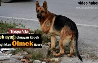 Tosya'da Tek Bacağı Olmayan Köpek Açlıkla Mücadele Ediyor