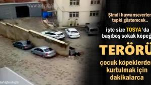 Tosya'da Başıboş sokak köpekleri korku sarıyor