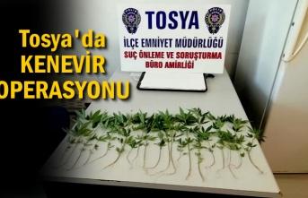 Tosya'da Kaçak Kenevir Operasyonu